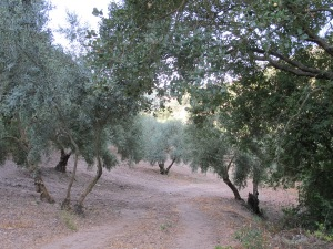 the track through the P's olive grove 25-8-13
