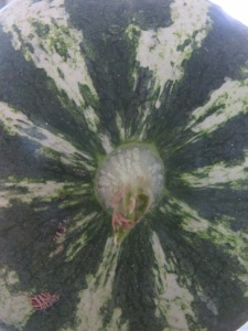 watermelon close-up 25-8-13