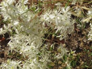 white flowers 25-8-13