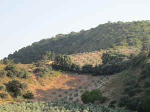 young olive trees 26-8-13