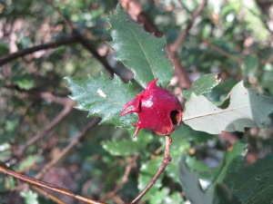 cherry-red gall on holm oak - on almond track 17-8-13