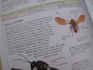 gall wasps - page from insect book 18-8-13