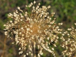 seedhead5 25-8-13
