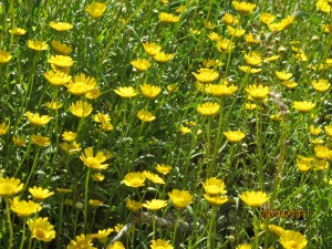 YELLOW field of yellow flowers in april 28-4-11