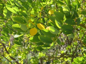 acacia leaves going yellow 13-10-13