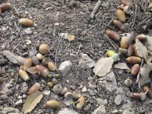 fallen acorns 4-10-13