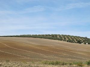 farmer rakes stalks into lines first 12-10-13