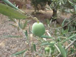 fat olive on tree2 6-10-13