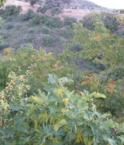 green leaves turning gold on the fig 2-11-10