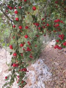 hawthorn berries1 4-10-13