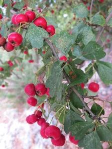 hawthorn berries2 4-10-13