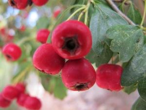 hawthorn berries3 4-10-13