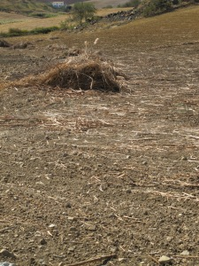 heap of stalks4 12-10-13