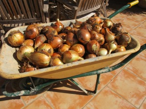onions in wheelbarrow 13-10-13