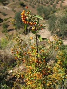 orange pyracanthra berries 13-10-13