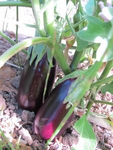 pairs - aubergines in the huerta 17-8-13