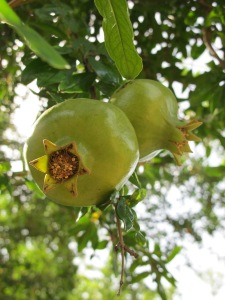 pairs - pomegranates in august - getting bigger still green 5-8-13