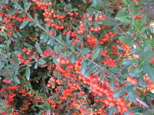 red pyracanthra berries1 13-10-13