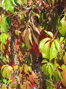 russian vine leaves going red 13-10-13
