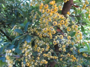 yellow pyracanthra berries1 13-10-13