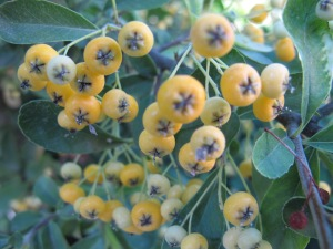 yellow pyracanthra berries2 13-10-13