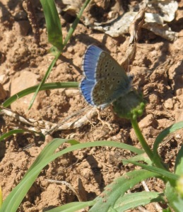 Adonis Blue butterfly 28-4-11