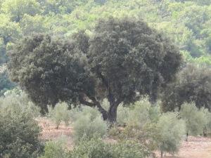 oak tree in hermano's grove opposite 4-10-13
