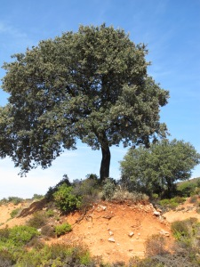 oak tree, on R coming into LaA from Canete 12-10-13