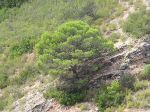 pinus growing on rocky outcrop 4-10-13