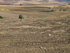 tree in ploughed field, looking towards sierra de las nieves 12-10-13