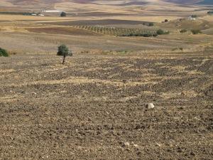 tree in ploughed field, looking towards sierra de las nieves 12-10-13