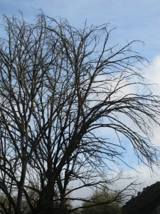 bare black branches against blue sky 26-3-13