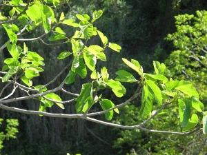 fig tree - sun through2 25-4-13