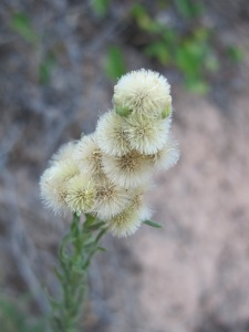 fluffy seedhead on almond track 17-8-13