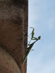 praying mantis3 17-11-13