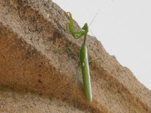 praying mantis4 17-11-13