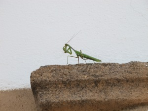 praying mantis5 17-11-13
