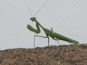 praying mantis6 17-11-13