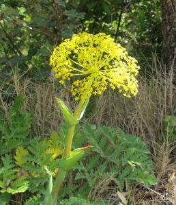wild fennel2 28-4-11