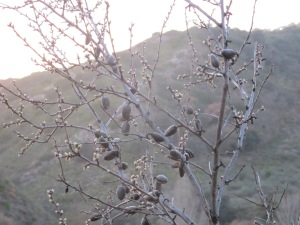almond buds2 12-1-14
