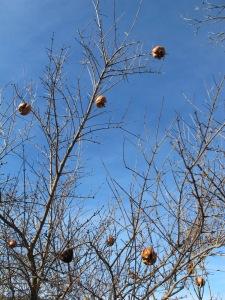 baubles on a tree - pomegranates3 5-1-14