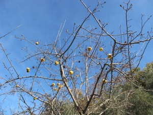 baubles on a tree - quince1 5-1-14