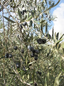 black olives 4-1-14