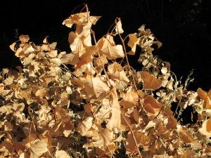 dead chopo leaves 25-8-13