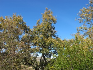dried-out holm oaks 4-1-14