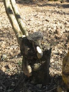 olive trees pruned3 15-3-13