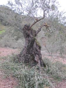 olive trees pruned4 26-3-13