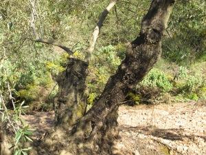 olive trees pruned5 15-3-13