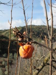 persimmon on tree 4-1-14