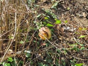 pomegranate close-up1 4-1-14